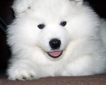 The Siberian Samoyed: One of The Most Beautiful Working Dogs