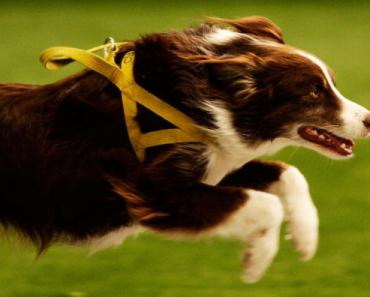 Are Border Collie Puppies Good for You?