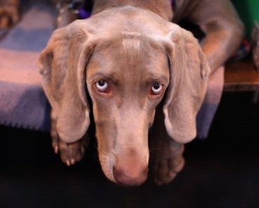 10 Things You Didn't Know about the Weimaraner