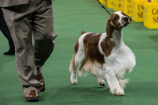 7 Ways a Welsh Springer Spaniel Will Improve Your Life