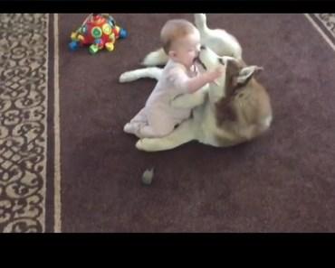 Siberian Husky Adorably Showers Baby with Hugs