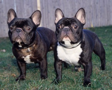 20 Things Only French Bulldog Owners Would Understand