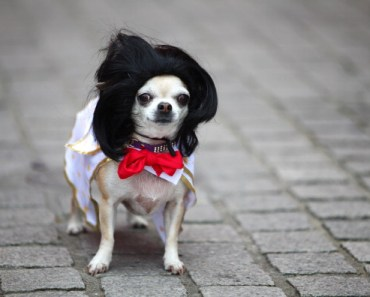 20 Things Only Owners of Chihuahuas Would Understand