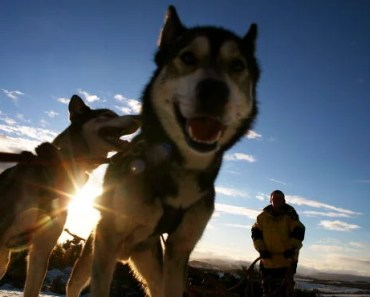 20 Things Only Siberian Husky Owners Understand