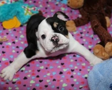 Adorable Two Legged English Bulldog Puppy Bonsai is a Living Miracle