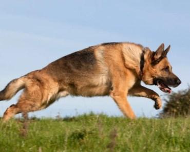 German Shepherd Dog Breed Information and Photos