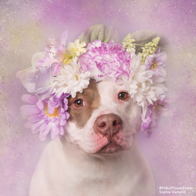 Sophie Gamand pit bull flower dogs