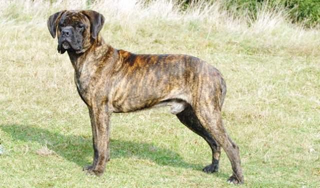 cane corso breed