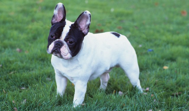 the french dog is a wonderful pet