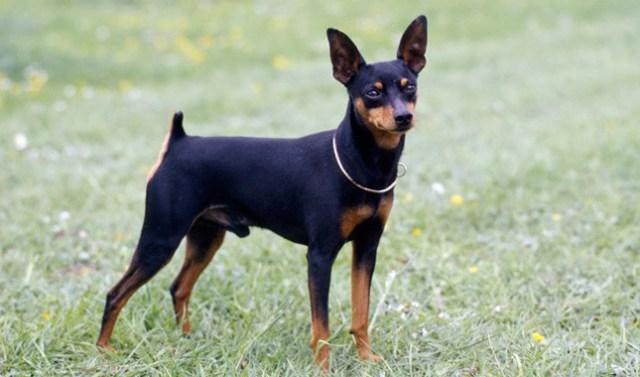 the miniature pinscher is a great lap dog
