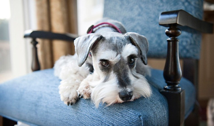 the miniature schnauzer is a great lap dog