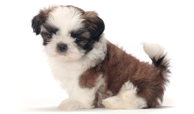 the shih tzu is a lovely lap dog