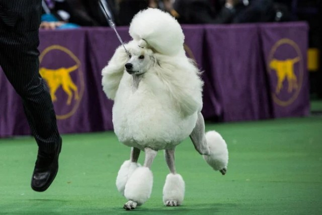 Standard Poodle Dog Breed What You Need To Know