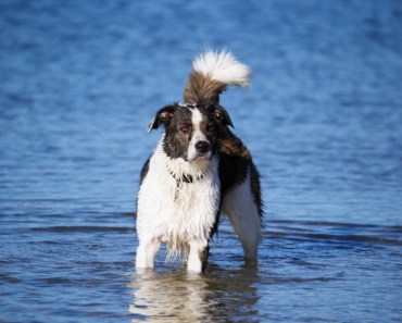 Border Collies make wonderful dogs