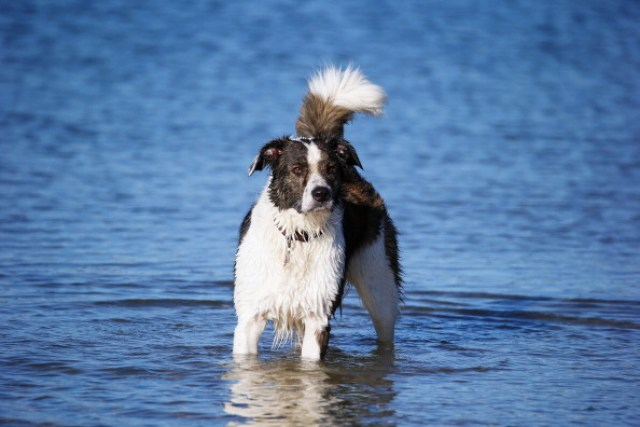 Border Collie in the water
