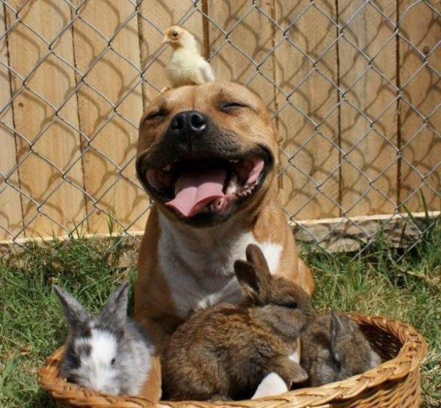 animals and a pit bull