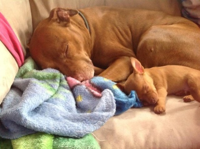 pit bull snuggling a baby pit bull