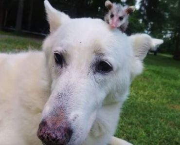 German Shepherd Adopts Opossum And Carries It On Her Back