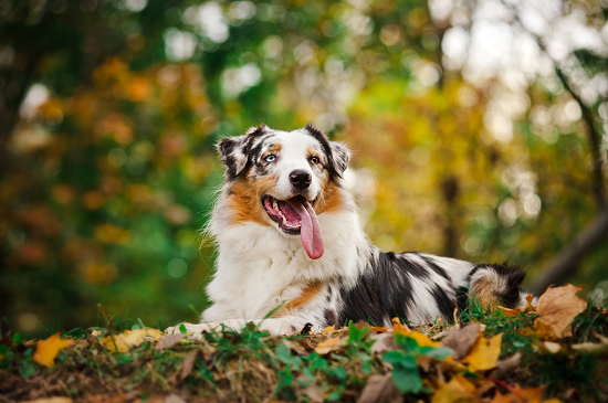 Cute And Cool Wallpapers That Makes You Popular Miniature Australian Shepherd What You Need To Know