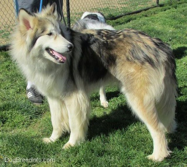 Native American Indian Dog Breed