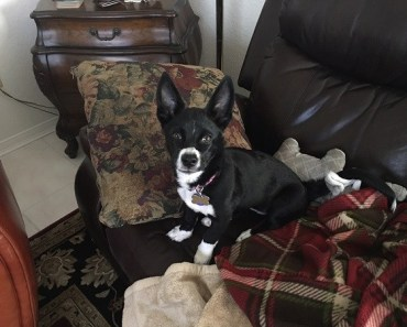 Abused Corgi Finds a Forever Home