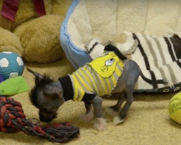Chinese Crested Chihuahua Mix is Smallest Dog in Shelter