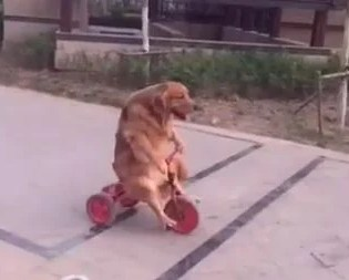 This Dog Rides A Tricycle Like A Professional