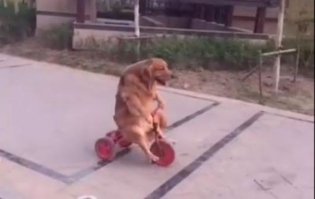 tricycle dog