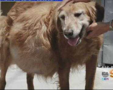 Golden Retriever Abandoned with 46-Pound Tumor