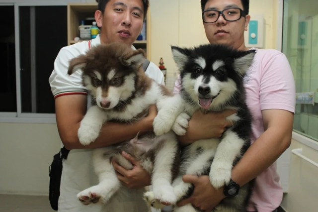 Giant Alaskan Malamute Puppies