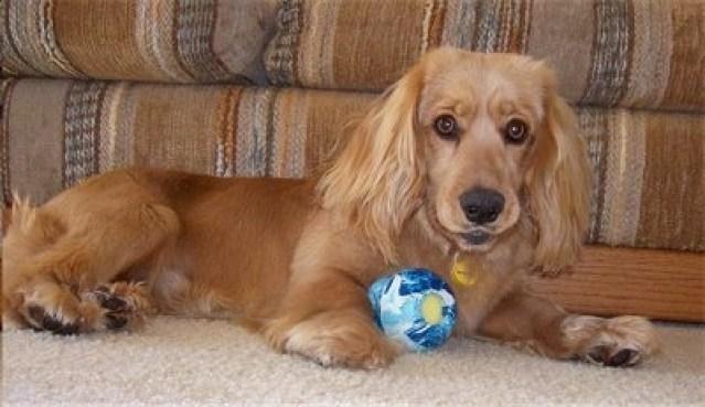 Golden Cocker Retriever Toy Ball