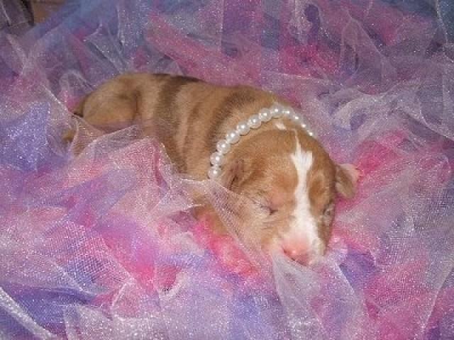 Merle Catahoula Bulldog Puppy
