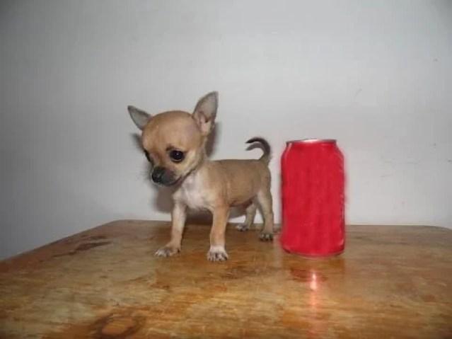 Teacup Chihuahua 3