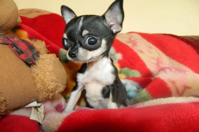 Teacup Chihuahua 4