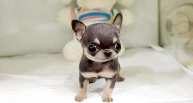 Teacup Chihuahua 6