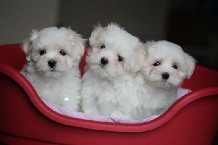 7006fd84e27 Teacup Maltese Dog Breed Information and Pictures