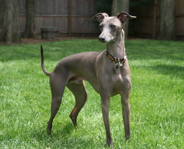 Grey Italian Greyhound