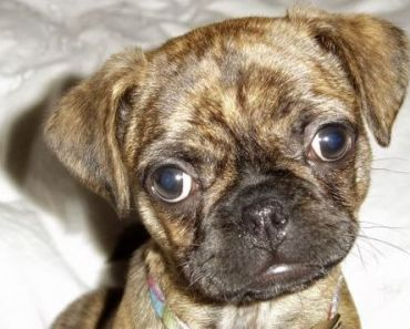 Boston Terrier Pug Mix: 5 Things You Didn't Know