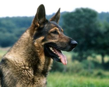Five German Shepherd Myths You Shouldn't Believe