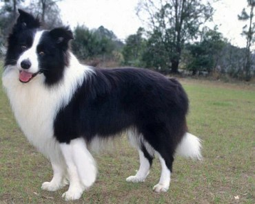 Five Border Collie Myths You Should Not Believe