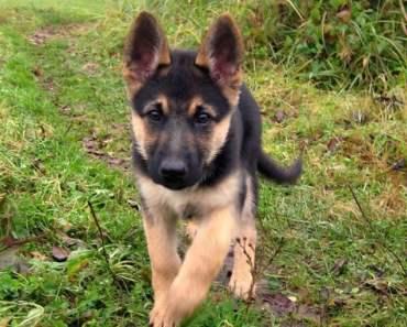 Five Easy To Follow German Shepherd Training Tips