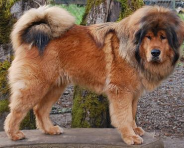 The Tibetan Mastiff Vs. a Lion: What You Need to Know