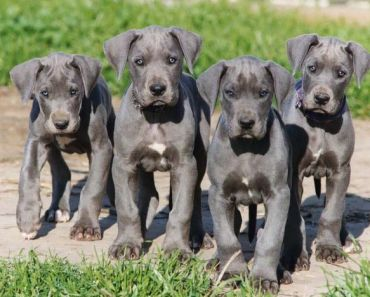 Seven Special Tips for Raising Great Dane Puppies