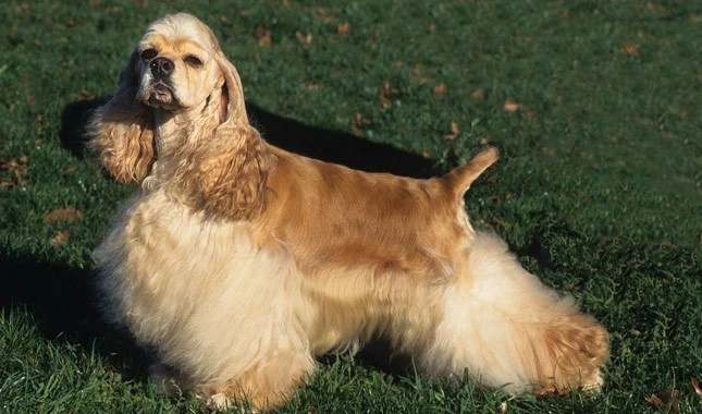 20 Things Only Cocker Spaniel Owners Understand