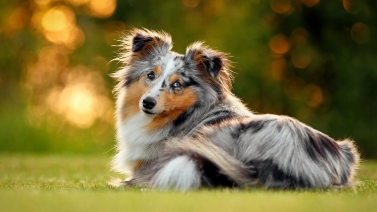 7 Things You Didnt Know About The Miniature Collie