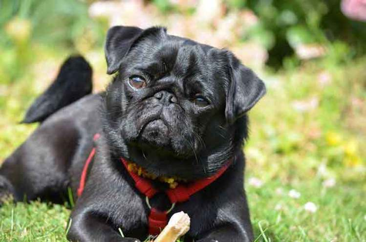Seven Things You Didnt Know About The Black Pug