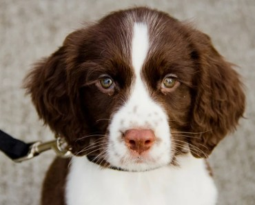 The Cutest Springer Spaniel Puppies Videos of 2017