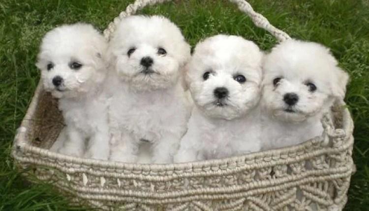 Five Adorable Bichon Frise Puppies Videos