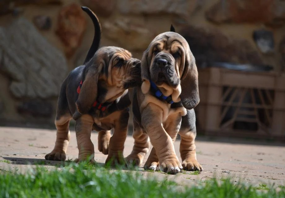 Buy Bloodhound Puppies in New Brunswick Canada
