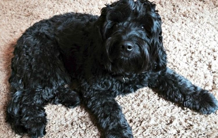 The Black Goldendoodle Five Things You Didnt Know